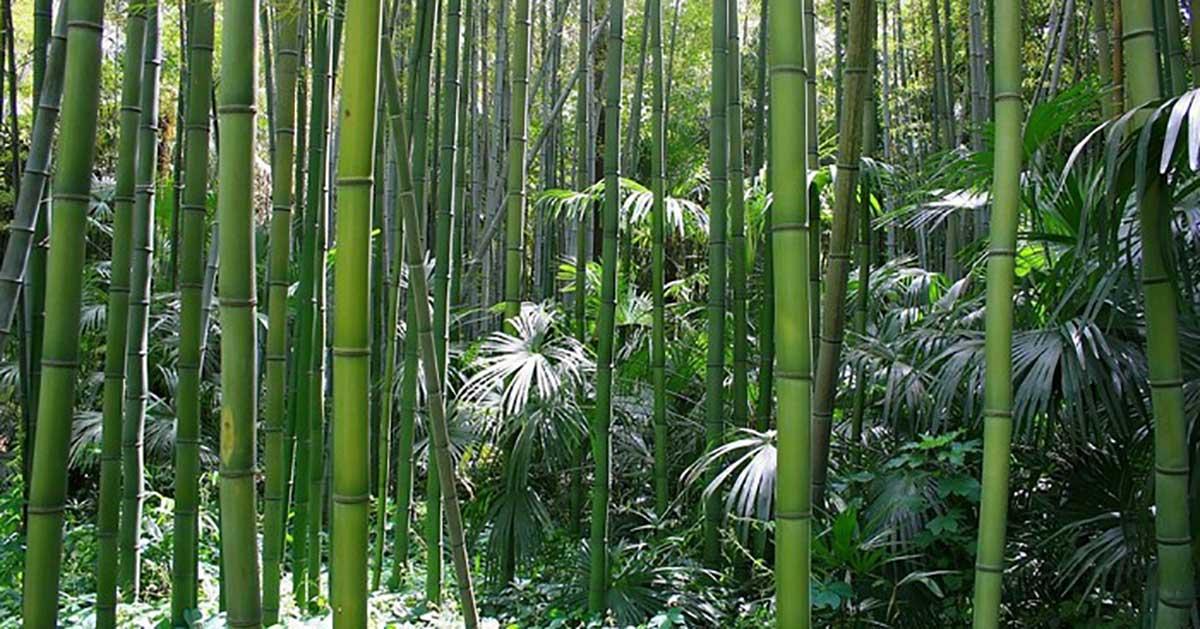 Bambouseraie-anduze-gites-a l'ombre d'un olivier